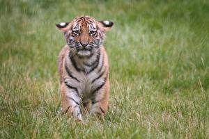 Fotos & Bilder Tiger Jungtiere Traurig Gras Tiere