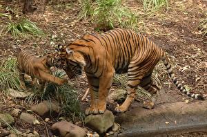 Hintergrundbilder Tiger Jungtiere Steine Zwei Bengal tiger