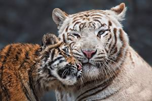 Hintergrundbilder Tiger Jungtiere Zwei Schnauze Süß