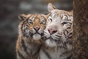 Fotos & Bilder Tiger Jungtiere Zwei Schnauze Schnurrhaare Vibrisse Süß Tiere