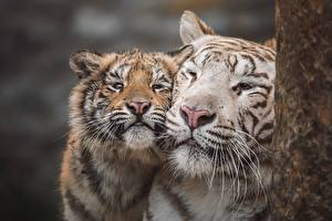 Wallpapers Tiger Cubs 2 Snout Whiskers Sweet animal