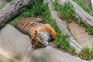 Fotos Tiger Liegen Tiere