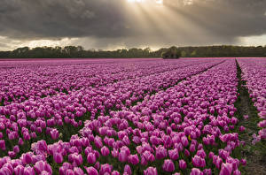 Hintergrundbilder Tulpen Acker Viel Violett Blüte