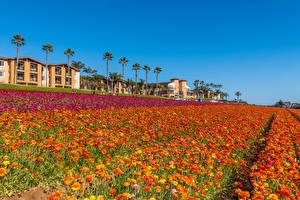 Papéis de parede Estados Unidos Campos Ranunculus Muitas Califórnia