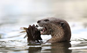 Fotos & Bilder Wasser Fische - Lebensmittel Fischotter Tiere