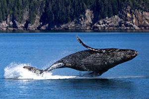 Hintergrundbilder Wal USA Alaska Park Felsen Wasser spritzt Sprung Humpback whale, Kenai Fjords National Park Tiere