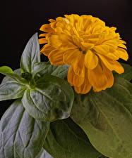 Bilder Zinnien Hautnah Schwarzer Hintergrund Gelb Blattwerk