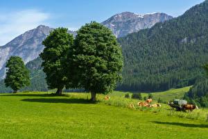 Fotos Österreich Berg Wald Kuh Grünland Bäume Gras Saalfelden am Steinernen Meer