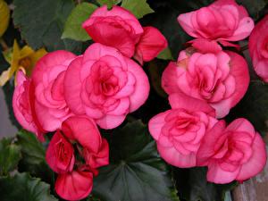 桌面壁纸,,秋海棠属,特寫,粉红色,花卉