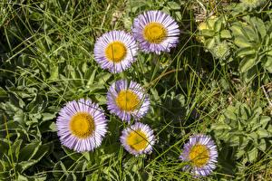 Fotos Gänseblümchen Gras
