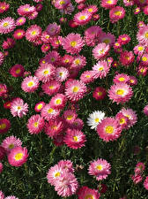 Bilder Gänseblümchen Viel Rosa Farbe
