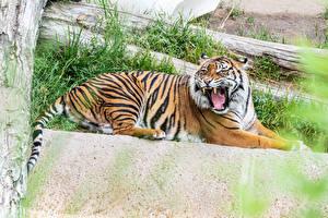 Bilder Große Katze Tiger Grinsen Liegen