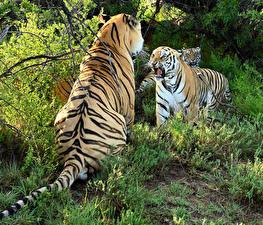 Hintergrundbilder Große Katze Tiger 2 Grinsen Tiere