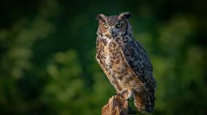 Photo Birds Owl Eurasian eagle-owl animal