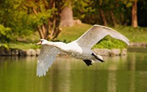 Bakgrunnsbilder Fugl Svaner Flyging Hvite Dyr