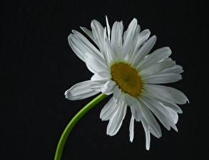 桌面壁纸,,母菊属,特寫,黑色背景,白色,花卉