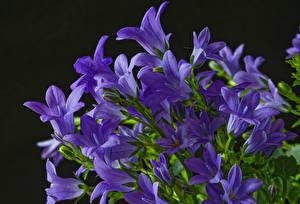 Fotos Glockenblumen Hautnah Schwarzer Hintergrund Violett Blumen