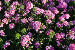 Wallpaper Carnations Many Pink color Flowers