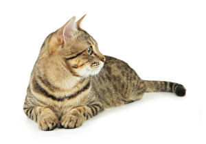 Fotos Katzen Weißer hintergrund Blick Pfote ein Tier
