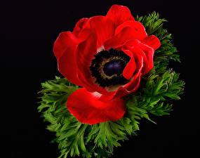 Fotos Nahaufnahme Windröschen Schwarzer Hintergrund Rot Blumen