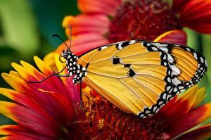 Hintergrundbilder Großansicht Schmetterlinge Monarchfalter