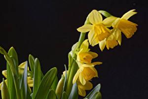 Bilder Narzissen Großansicht Schwarzer Hintergrund Gelb Blumen