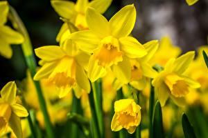 Hintergrundbilder Narzissen Hautnah Gelb Blumen