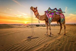 Fotos Wüste Kamele Sonnenaufgänge und Sonnenuntergänge Sand