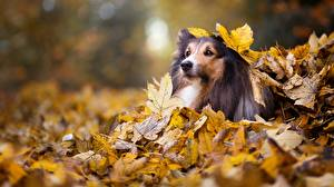 Wallpaper Dogs Autumn Collie Leaf Glance