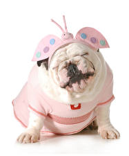 Image Dogs Butterfly Clothes White background Bulldog Uniform Funny Animals