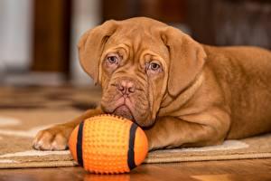 Bilder Hunde Dogue de Bordeaux Liegt Blick Ball Braune Welpen Tiere