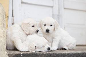 Wallpaper Dogs Golden Retriever Three 3 Puppies White Animals