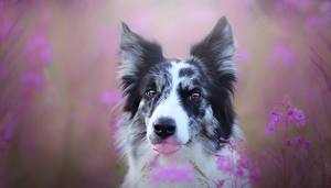 Fotos Hunde Kopf Blick Zunge Border Collie ein Tier
