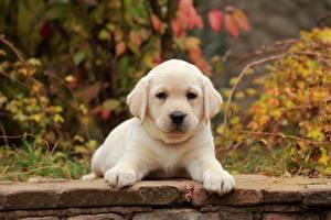 Bilder Hunde Welpen Labrador Retriever Pfote Weiß