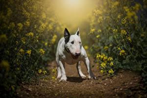 Hintergrundbilder Hunde Raps Bullterrier ein Tier