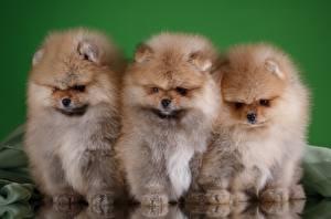 Hintergrundbilder Hunde Spitz Drei 3 Flaumig Tiere