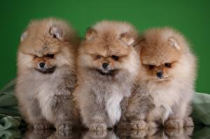 Pictures Dogs Spitz Three 3 Fluffy Animals