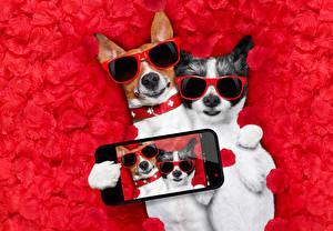 Fotos Hund 2 Jack Russell Terrier Brille Smartphones Selfie Kronblätter Lustiger ein Tier