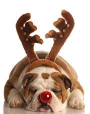 Photo Dog White background Bulldog Horns Nose Sleeping Paws animal