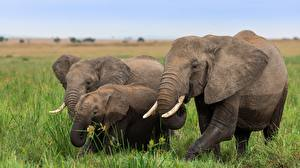 Hintergrundbilder Elefanten Jungtiere Drei 3 ein Tier