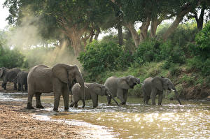 Pictures Elephants Water Trees Herd