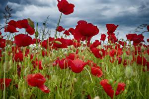 Hintergrundbilder Felder Mohnblumen Großansicht Knospe Blüte