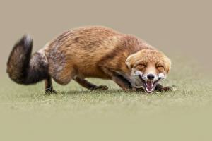 Pictures Foxes Sweet Animals
