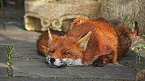 Wallpapers Foxes Staring Lying down Animals