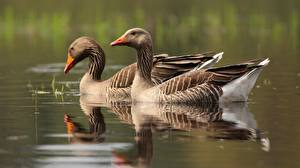 Images Geese Water Two animal