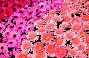 Bilder Gerbera Viel Blumen