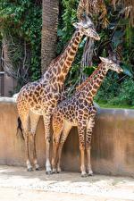 Hintergrundbilder Giraffe 2 ein Tier