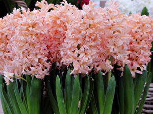Pictures Hyacinths Closeup Pink color Flowers