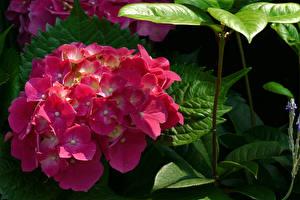Bilder Hortensie Großansicht Rosa Farbe Blumen
