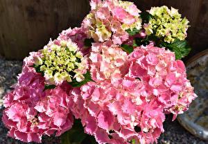Hintergrundbilder Hortensie Hautnah Rosa Farbe Blüte
